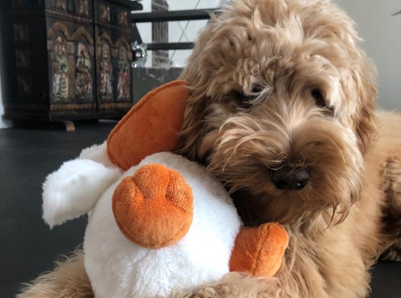 Hond Charlie Doodle