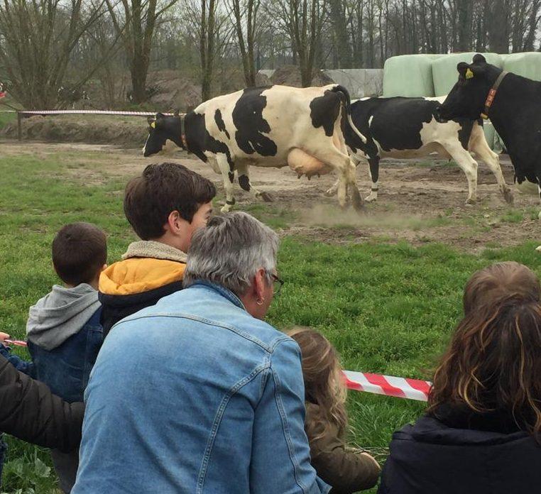 Koe in de Wei dag